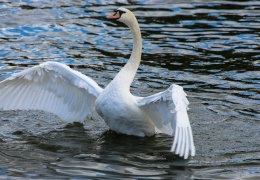 Swan stretching wings