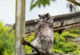Verreaux's Eagle Owl